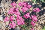Dianthus x alpinus (D. alpinus x D. haematocalyx)